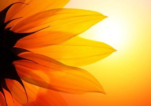 Silhouette of a sunflower, seen from behind, with powerful sunlight shining through its petals