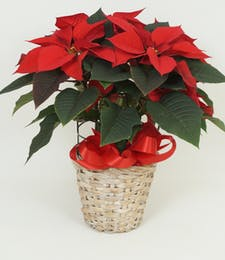 Red Poinsettia 6 1/2 Inch