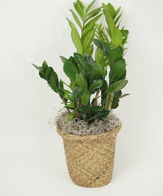 6 Inch ZZ Plant