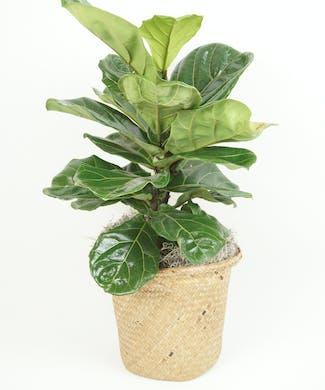 8 Inch Fiddle Leaf Fig