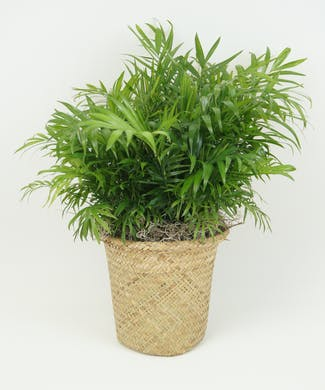 8 Inch Neanthe Bella Palm