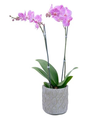 Purple Beauty Orchid